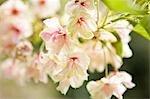 Nahaufnahme der Kirsche blüht, Kyoto, Kansai Region, Honshu, Japan