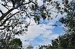 Blaukopf-Flughunde, Yarra Bend Park, Melbourne, Australien