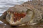 Crocodile du Nil (Crocodilus niloticus), réserve nationale de Masai Mara, Kenya, Afrique de l'est, Afrique