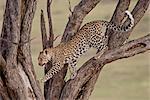 Leopard (Panthera pardus) in a tree, Masai Mara National Reserve, Kenya, East Africa, Africa