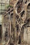 racines de plus en plus les murs d'Angkor Vat