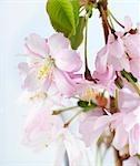 Spray de fleurs de cerisier japonais ornemental