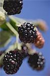 Blackberries on stalk
