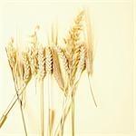 Verschiedenen Ohren Getreide (Weizen, Hafer, Roggen)