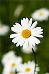 Marguerite en herbe (gros plan)