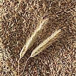Ears of rye on rye grains