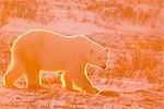 Polar Bear, backlit by setting sun, walks on frozen ground at Churchill, Manitoba, Canada.