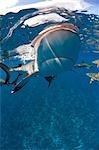 Blacktip reef shark approaches.