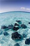 Stingrays, Grand Cayman.