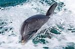 Dolphin in boat wake.
