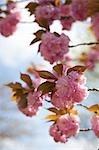 Fleur de cerisier, Kyoto, préfecture de Kyōto, région du Kansai, Honshu, Japon