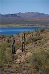 Kandelaberkaktus auf Arizona-Seite des Lake Havasu, Kalifornien im Hintergrund, USA