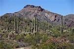 Saguaro and Organ Pipe Cacti, Organ Pipe National Park, Arizona, USA