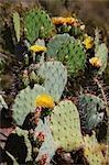 Floraison Prickly Pear Cactus, Arizona, USA