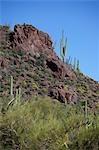 Saguaro Cactus, Organ Pipe National Park, Arizona, USA