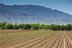 Corn Farm, Albuquerque, New Mexico, USA