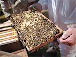 Beekeeper inspect honey combs