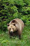 Ours brun, Parc National des forêts bavaroises. Bavière, Allemagne