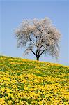 Blühenden Kirschbaum in Bereich der Löwenzahn nahe Bodensee, Lindau, Schwaben, Bayern, Deutschland