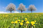Blooming Cherry Trees in Field of Dandelions Near Lake Constance, Lindau, Swabia, Bavaria, Germany