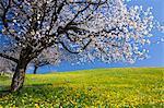Cherry Trees in Field of Dandelions, Lake Zug, Switzerland