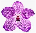 Gros plan des mauve et blanc orchidée