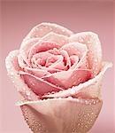 Nahaufnahme von tau tröpfchen auf rosa rose