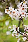 Nahaufnahme der Mandelblüte, Mallorca, Spanien