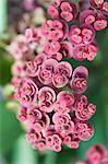 Crown-of-Thorns Blumen