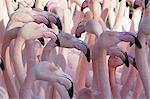 Vergrößerte Ansicht der Flamingos in einer Menschenmenge