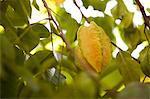 Starfruit hanging from tree