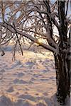 Snow Covered arbres à Sunirse, Wasserkuppe, montagnes Rhon, Hesse, Allemagne