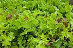 Organic Mixed Mesclun Lettuce