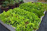 Organic Lettuce in Raised Bed
