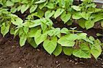 Organic Bush String Beans