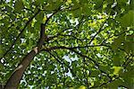 Indian Bean Tree, Bad Harzburg, Goslar-Harz, Basse-Saxe, Allemagne