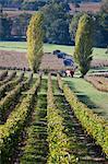 Grape Harvesters in Chateau Saint-Georges Vineyard, Saint-Emilion, Bordeaux, Gironde, Aquitaine, France