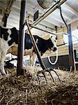 Fourche et vache laitière Holstein dans la grange, Ontario, Canada