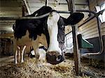 Portrait de vache laitière Holstein dans la grange, Ontario, Canada