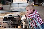 Boy watching sheep in farm barn