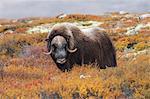 Bull Muskox on Tundra, Dovrefjell-Sunndalsfjella National Park, Norway