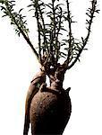 Pachypodium succulentum, close-up