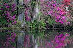 Cypress & Azelea in bloom Magnolia Plantation