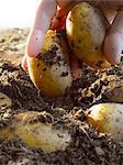 Pommes de terre à terre