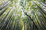 Forêt de bambou, Kyoto, préfecture de Kyoto, la région du Kansai de Honshu, Japon