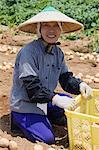 Woman Gathering Pototoes, Aichi Prefecture, Chubu Region, Honshu, Japan