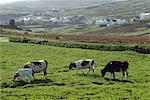 Arranmore île, Co Donegal, Irlande ; Pâturage du bétail