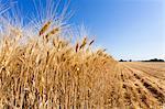 Barley Field, Valensole Plateau, Alpes-de-Haute-Provence, Provence, Provence-Alpes-Cote d'Azur, France