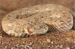 Bitis caudalis (Bitis caudalis) sur le sable du désert, Namibie