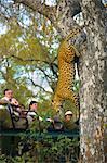 Gens regardant un léopard descendant d'un arbre.